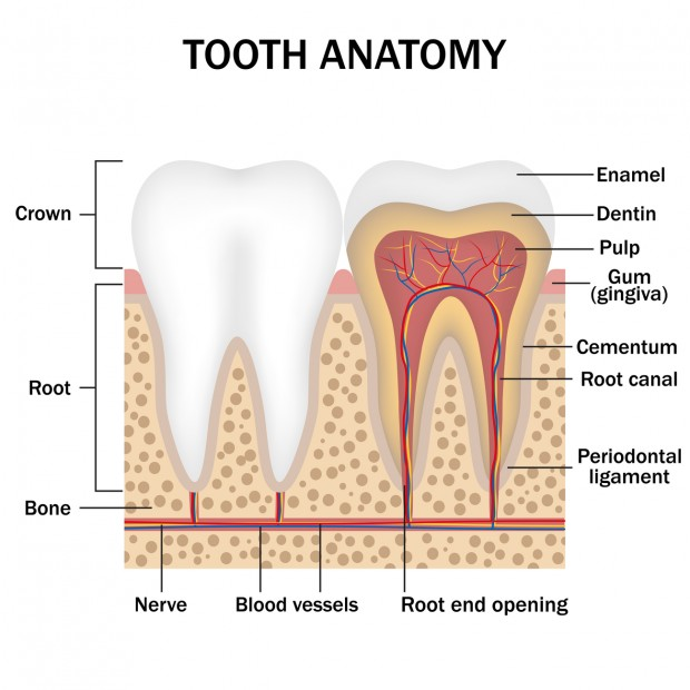 An illustration of the tooth's anatomy, which list the different parts and where tooth enamel erosion occurs.