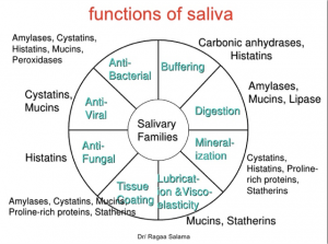 A chart of the functions of saliva.